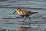 Dunlin/Calidris alpina - Photographer: Ingar Oien