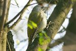 Grey-headed Woodpecker/Picus canus - Photographer: Емил Енчев