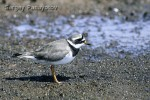 Family Plovers, Common Ringed Plover/Charadrius hiaticula