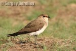 Family Pratincoles, Black-winged Pratincole/Glareola nordmanni - Photographer: Сергей Дерелиев