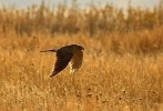 Family Hawks, Pallid Harrier/Circus macrourus - Photographer: Ники Петков