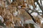 Hawfinch/Coccothraustes coccothraustes - Photographer: Светослав Спасов