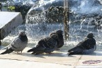 Family Pigeons, Doves, Rock Pigeon/Columba livia var domestica - Photographer: Sergey Panayotov