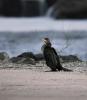 Great Cormorant/Phalacrocorax carbo - Photographer: Антони Гогов