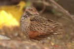 Family Rails, Corncrake/Crex crex - Photographer: Ники Петков
