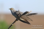 Common Cuckoo/Cuculus canorus - Photographer: Sergey Panayotov