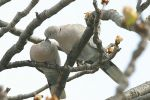 Eurasian Collared-dove/Streptopelia decaocto - Photographer: Емил Енчев