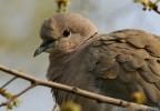 Eurasian Collared-dove/Streptopelia decaocto - Photographer: Светослав Спасов