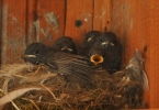 Family Thrushes, Black Redstart/Phoenicurus ochruros - Photographer: Весела Банова