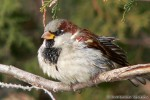 House Sparrow/Passer domesticus - Photographer: Светослав Спасов
