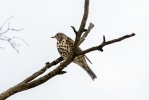 Family Thrushes, Mistle Thrush/Turdus viscivorus - Photographer: Ивайло Андреев