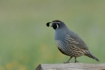 California Quail/Callipepla californica, Family Gamebirds