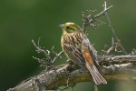 Yellowhammer/Emberiza citrinella - Photographer: Емил Енчев