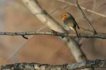 European Robin/Erithacus rubecula - Photographer: Sergey Panayotov