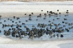 Common Coot/Fulica atra - Photographer: Sergey Panayotov