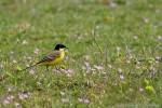 Yellow Wagtail/Motacilla flava - Photographer: Светослав Спасов