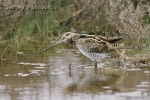 Family Sandpipers, Common Snipe/Gallinago gallinago - Photographer: Sergey Panayotov