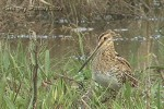 Common Snipe/Gallinago gallinago - Photographer: Sergey Panayotov