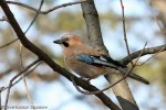Family Crows, Eurasian Jay/Garrulus glandarius