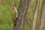 Eurasian Green Woodpecker/Picus viridis - Photographer: Бисер Тодоров
