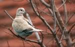 Eurasian Collared-dove/Streptopelia decaocto - Photographer: Цветан Тодоров