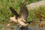 Red-rumped Swallow/Cecropis daurica - Photographer: Емил Енчев