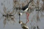 Family Stilts, Avocets, Black-winged Stilt/Himantopus himantopus