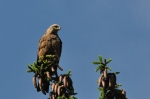 Black Kite/Milvus migrans - Photographer: Minka Stoyanova