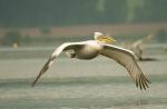 Dalmatian Pelican/Pelecanus crispus - Photographer: Николай Стоянов