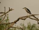 Black-crowned Night-heron/Nycticorax nycticorax - Photographer: Николай Стоянов