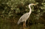 Grey Heron/Ardea cinerea - Photographer: Николай Стоянов