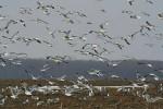 Mew Gull/Larus canus - Photographer: Sergey Panayotov