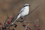 Northern Grey Shrike/Lanius excubitor - Photographer: Николай Стайков