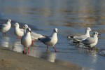 Family Gulls, Terns, Common Black-headed Gull/Chroicocephalus ridibundus