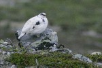 Rock Ptarmigan/Lagopus muta - Photographer: Димитър Георгиев