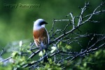 Red-backed Shrike/Lanius collurio - Photographer: Sergey Panayotov