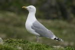 Herring Gull/Larus argentatus - Photographer: Димитър Георгиев