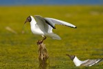 Common Black-headed Gull/Chroicocephalus ridibundus - Photographer: Борис Белчев