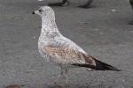 Ring-billed Gull/Larus delawarensis - Photographer: Даниел Митев