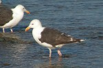 Great Black-backed Gull/Larus marinus - Photographer: Даниел Митев