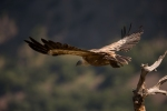 Family Hawks, Eurasian Griffon/Gyps fulvus
