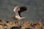 Egyptian Vulture/Neophron percnopterus, Family Hawks
