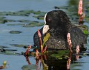 Family Rails, Common Coot/Fulica atra - Photographer: Иво Дамянов