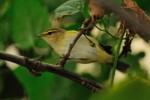 Wood Warbler/Phylloscopus sibilatrix - Photographer: Емил Иванов