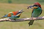 European Bee-eater/Merops apiaster - Photographer: Пьотър Шпаковски
