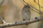 Spotted Flycatcher/Muscicapa striata - Photographer: Николай Стайков