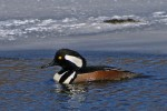 Family Waterfowl, Hooded Merganser/Lophodytes cucullatus