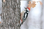 Family Woodpeckers, Middle Spotted Woodpecker/Dendrocopos medius