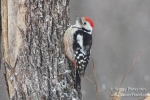 Family Woodpeckers, Middle Spotted Woodpecker/Dendrocopos medius - Photographer: Sergey Panayotov