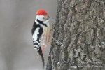 Middle Spotted Woodpecker/Dendrocopos medius - Photographer: Sergey Panayotov